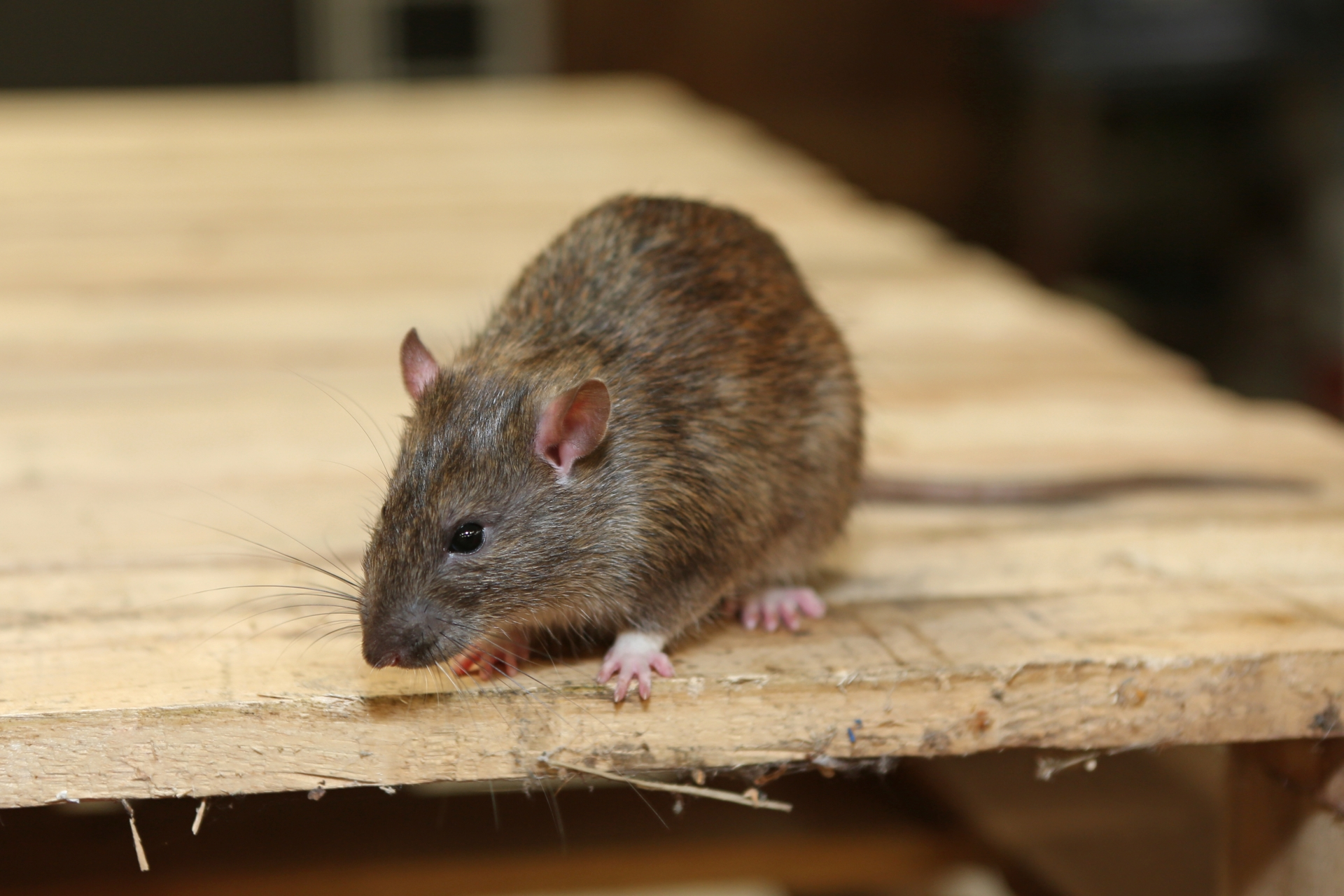 Rat Infestation, Pest Control in Clerkenwell, Finsbury, Barbican, EC1. Call Now 020 8166 9746
