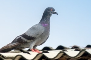 Pigeon Control, Pest Control in Clerkenwell, Finsbury, Barbican, EC1. Call Now 020 8166 9746